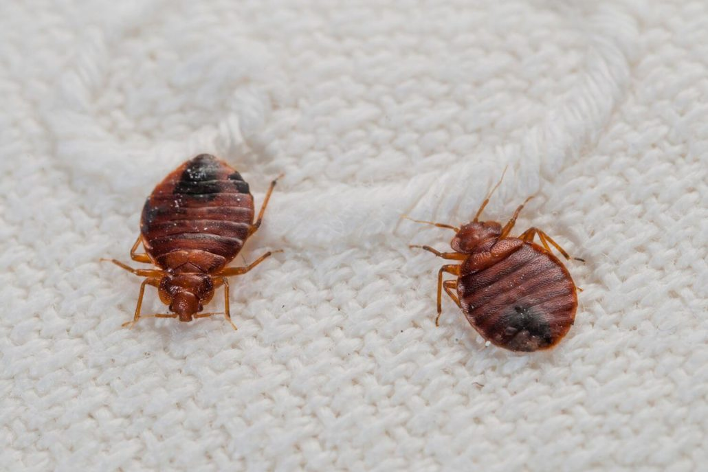 Natural remedies for bed bugs