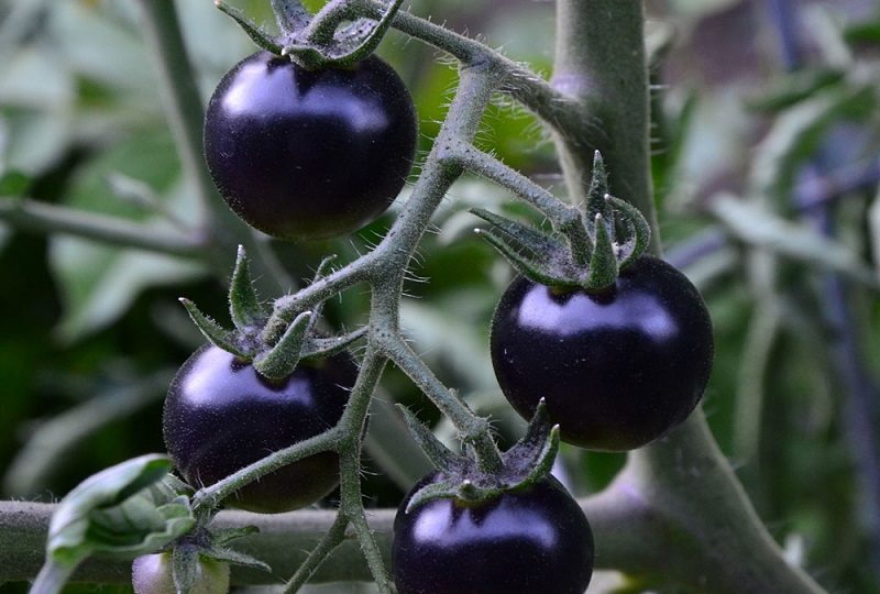 Benefits of Black Tomato