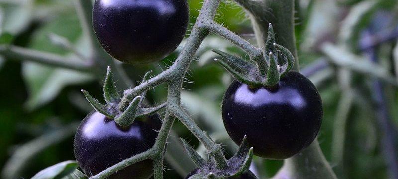Benefits of Black Tomato