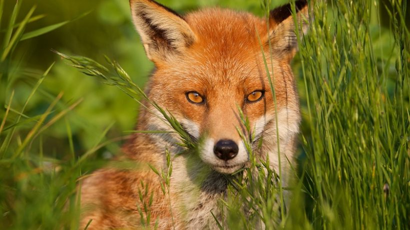 What do foxes eat? Nutrition and curiosity